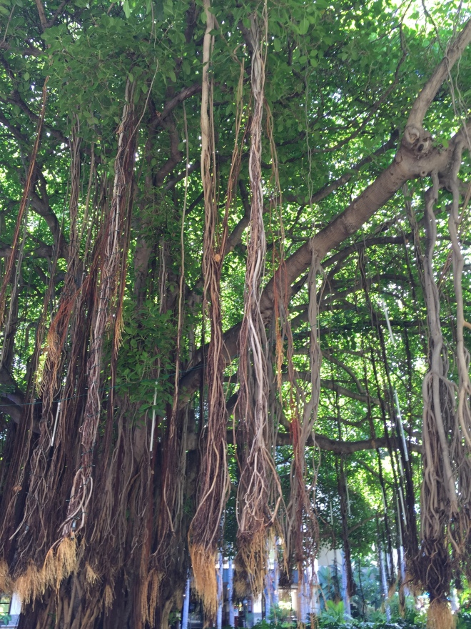 The banyan tree at our Hale Koa Resort.