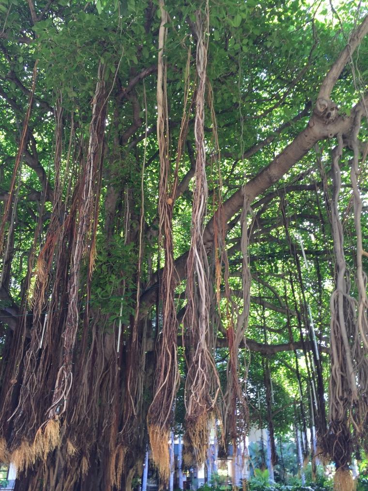 The banyan tree at our Hale Koa Resort.